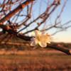 Zanimljivost: Zbog blage zime šljiva rodila dva puta