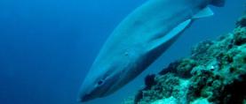Ronioci kod Plavnika snimili bliski susret s morskim psom glavonjom (FOTO)