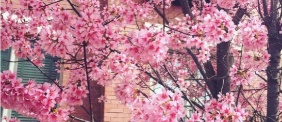 Washington:  Uranilo proljeće; rekordno rani cvat trešanja